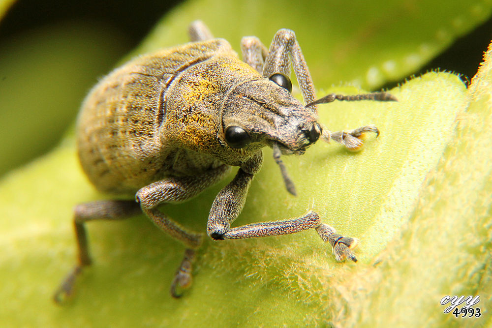Photo in Random #canon eos 550d #canon ef-s 18-135mm f3.5-5.6 i #cyy4993 #象鼻虫 #weevil bug #curculionidae