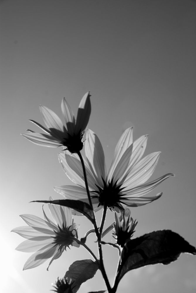 Photo in Nature #flower #sun #flowers #black and white