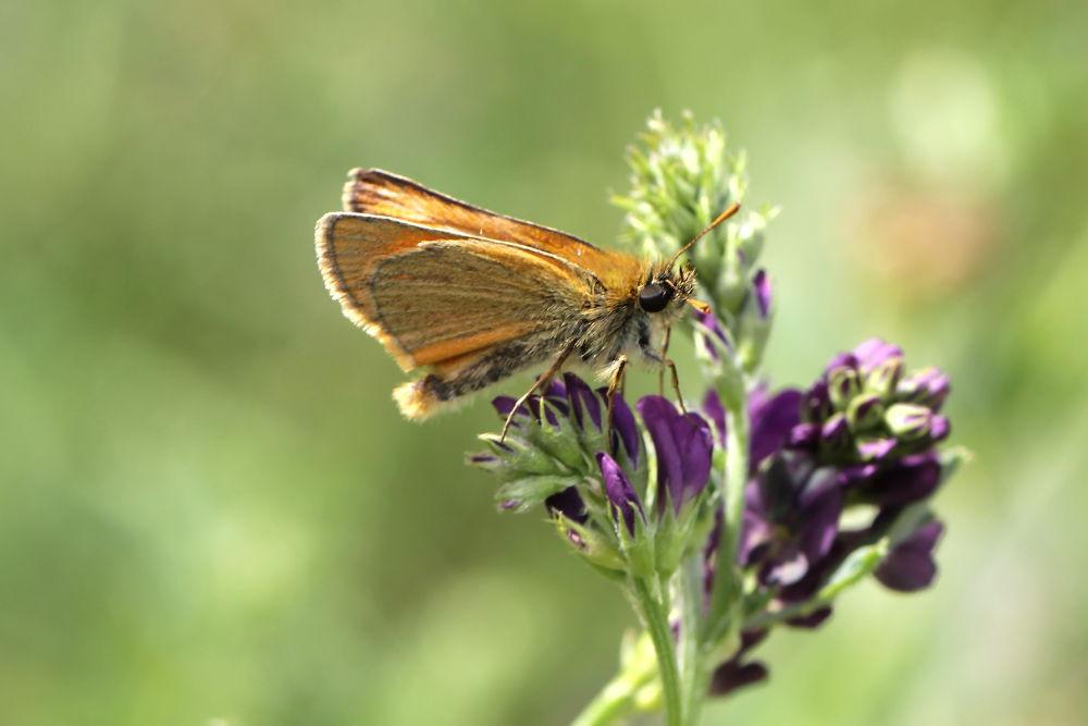 butterfly , Braun-Dickkopf by Ralf Muhl