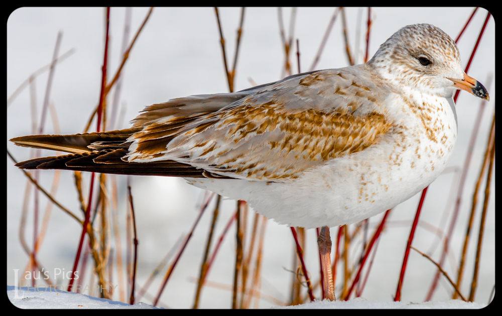 Seagull in Snow DSC_8612 by lauspics