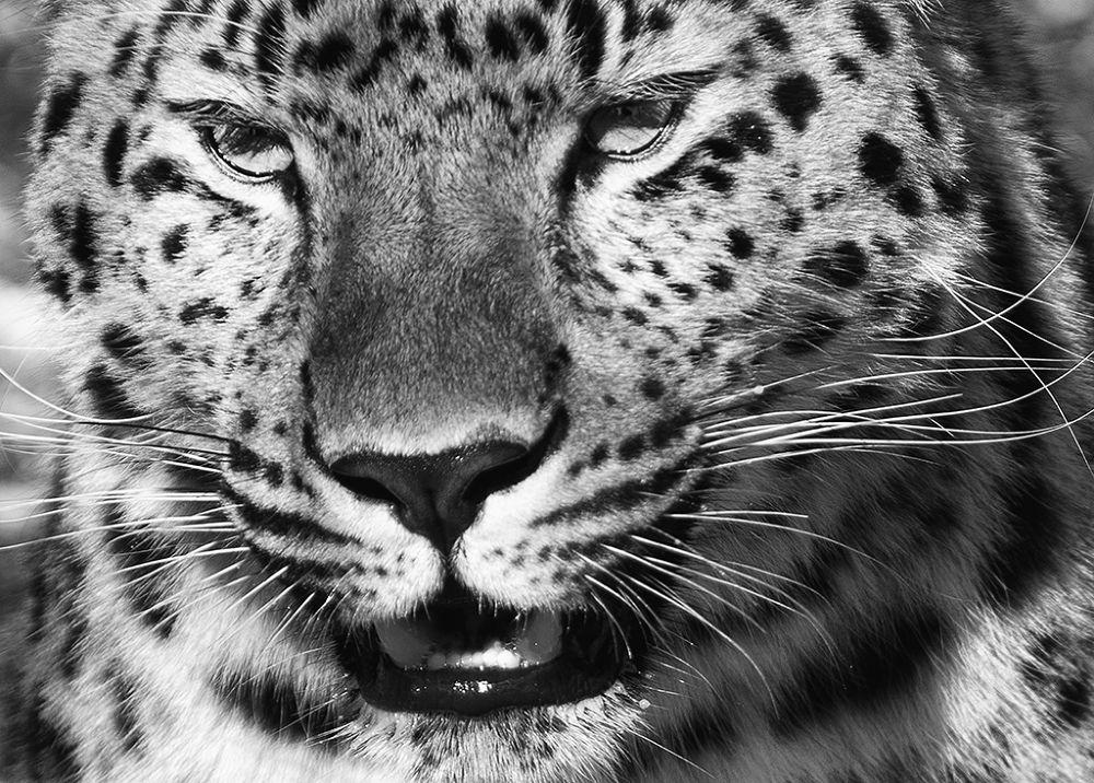 Leopard closeup by acmchu