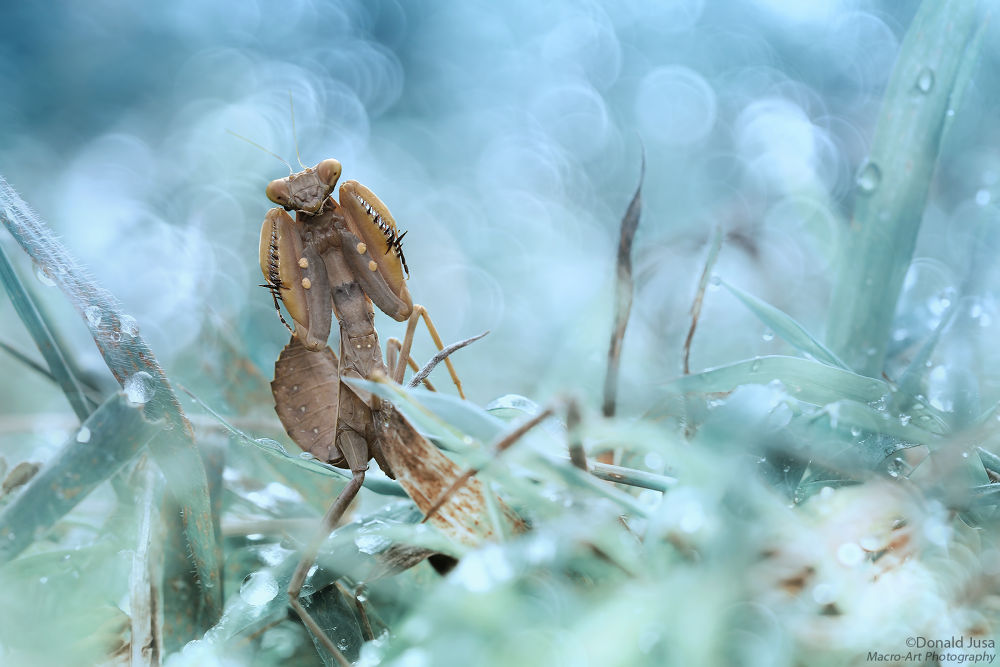 The Boxer Mantid by donaldjusa