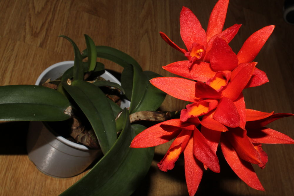 Cattleya by cristina_orchid