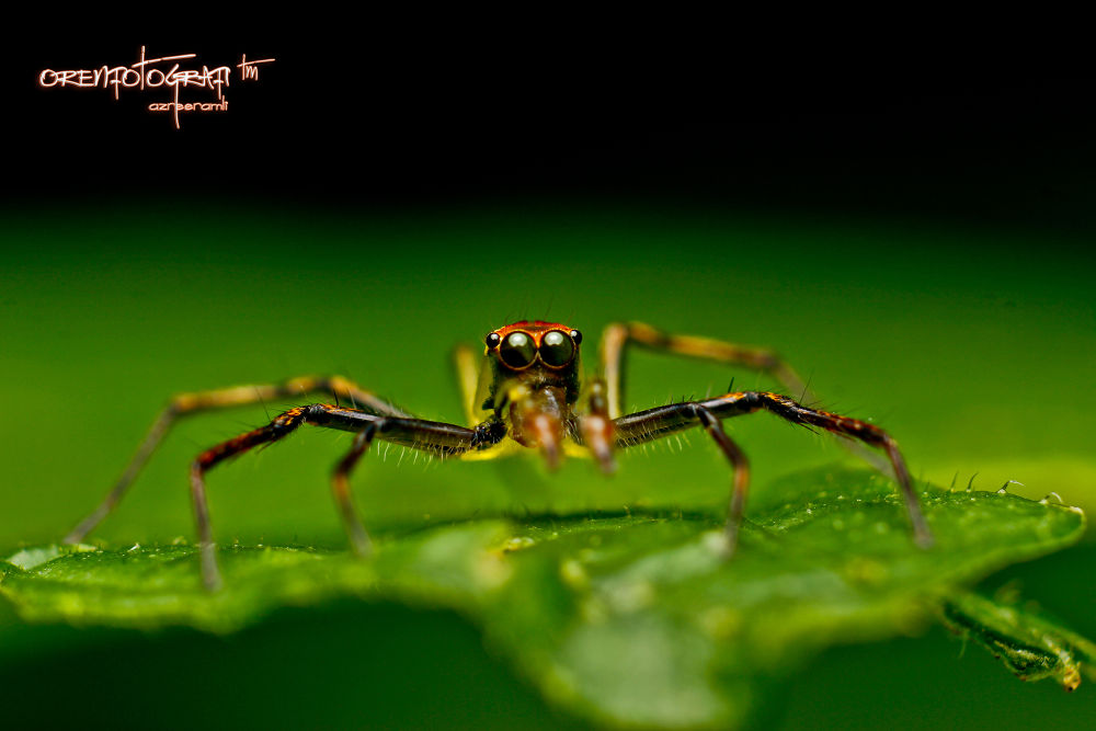 Jumping Spider #11 by orenkaler