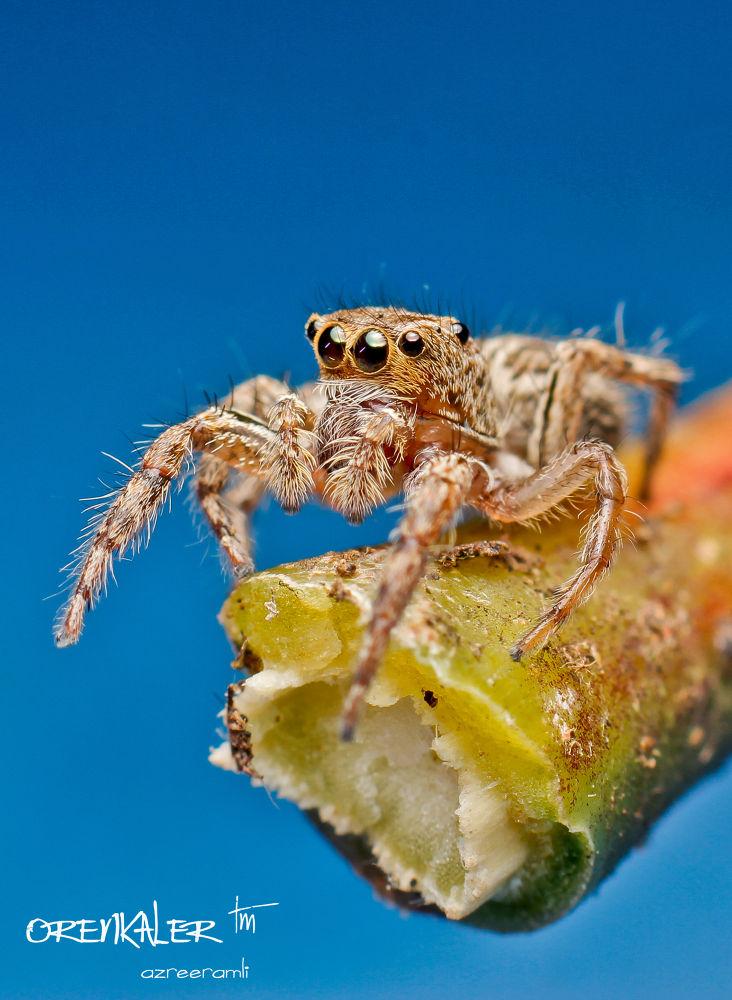 Jumping Spider #9 by orenkaler