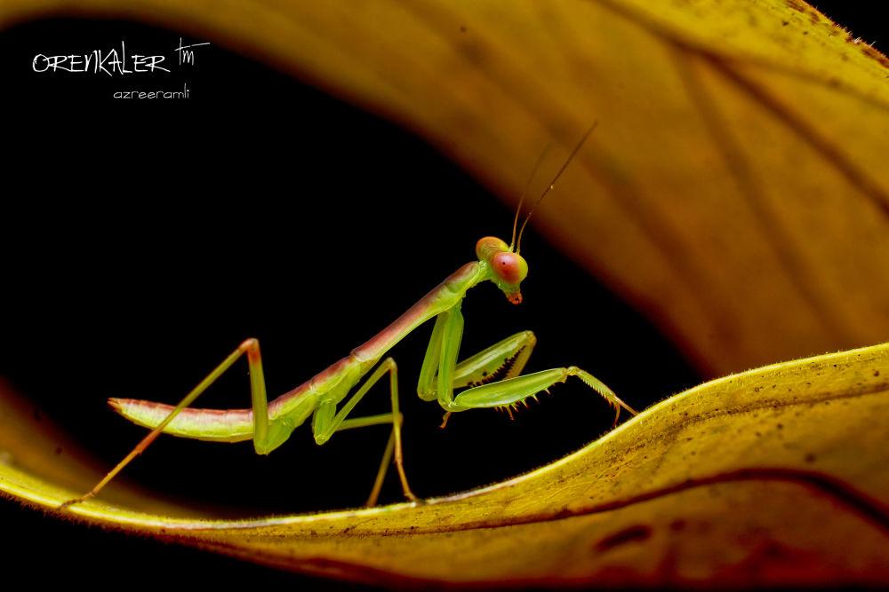 Praying Mantis #1 by orenkaler