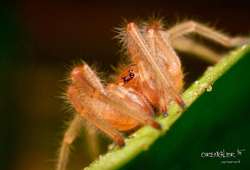 Jumper Spider by orenkaler
