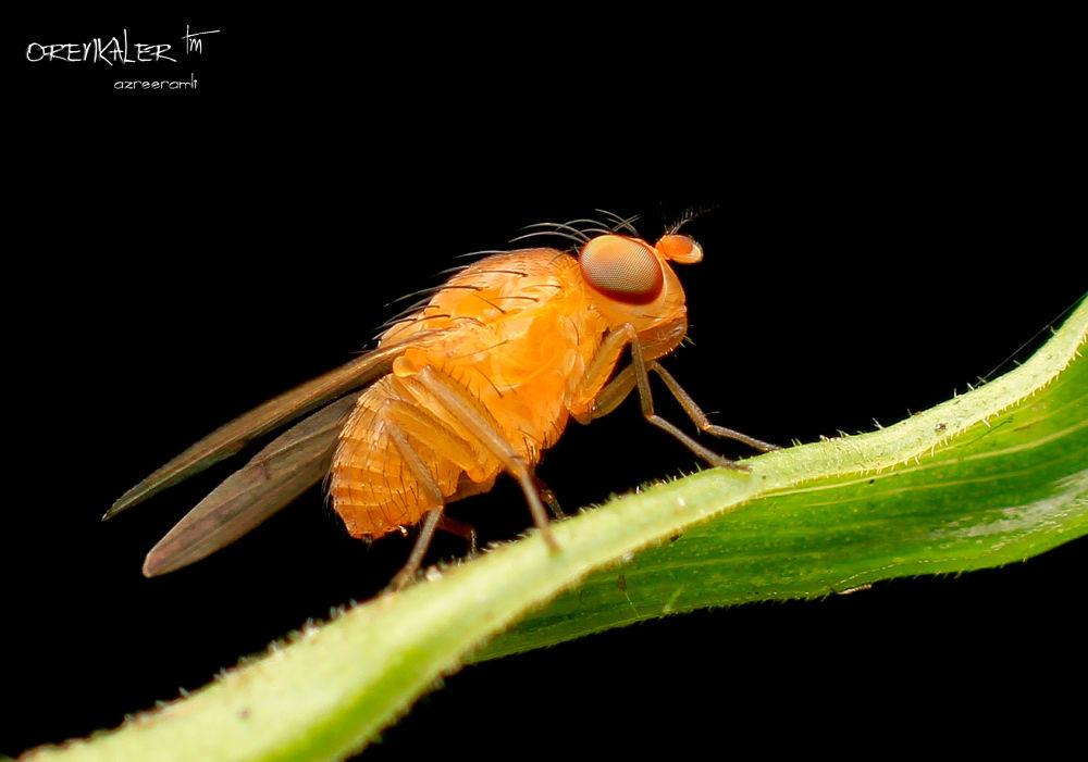 Orange Fly by orenkaler