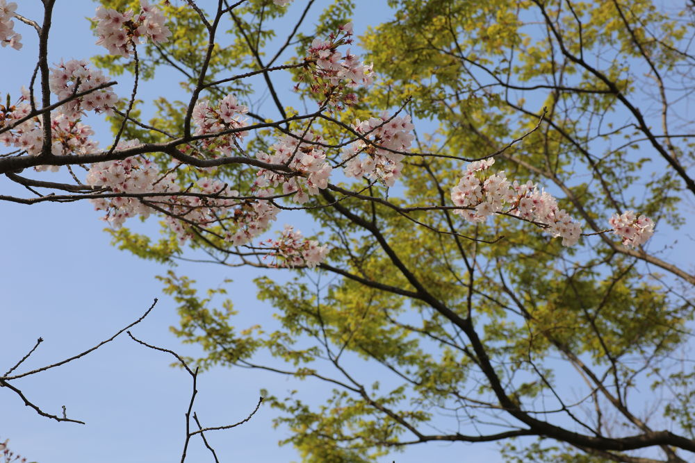 cherry blossoms and green background by Hiroshi_Kume