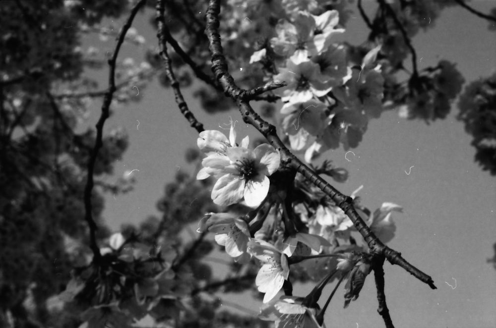 cherry blossom by Hiroshi_Kume