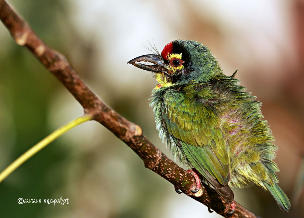 Copporsmith Barbet by surunair