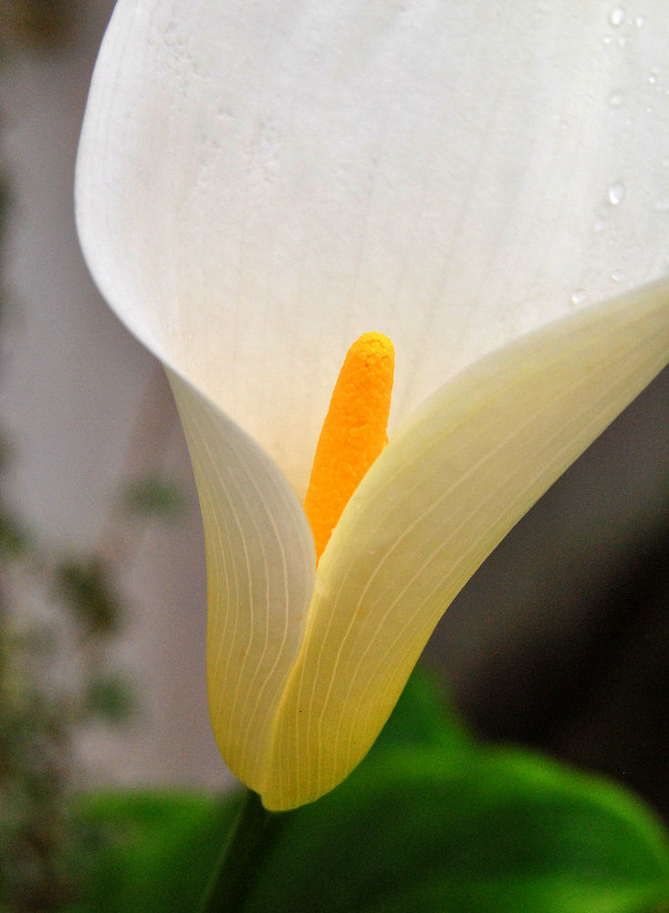 Photo in Nature #nature #flower #lily