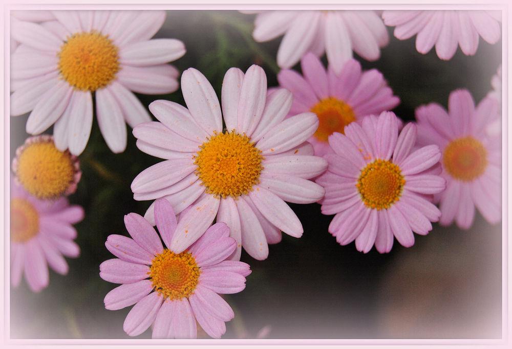 Photo in Nature #margaritas #pink #flowers #spring