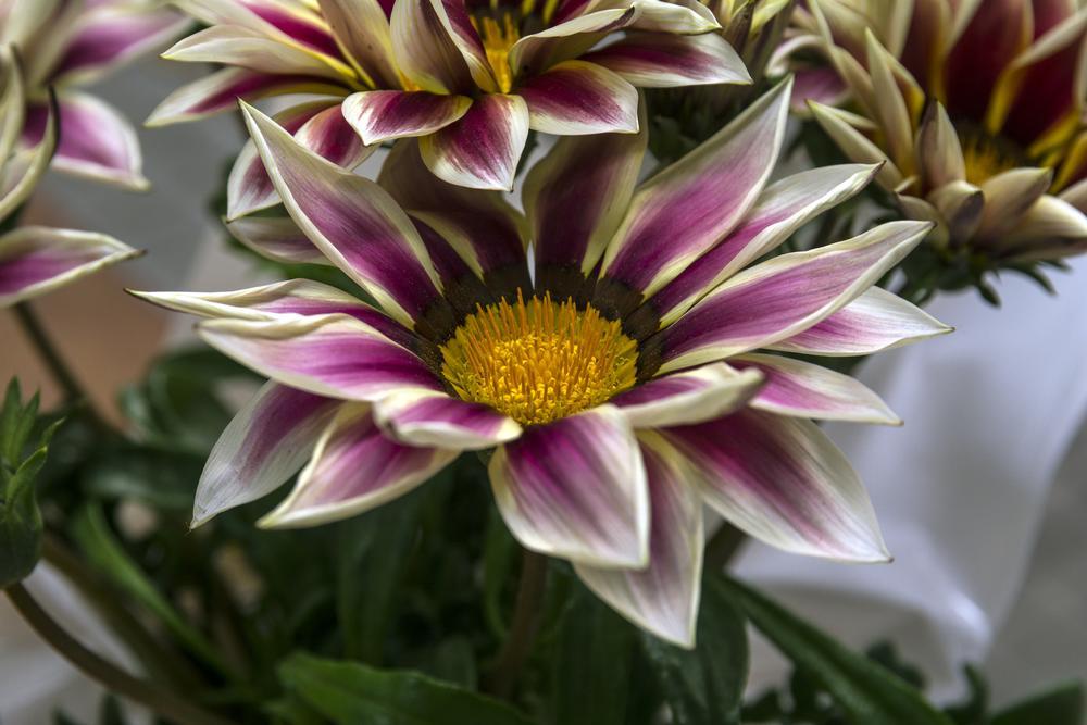 Photo in Nature #gazania #flower #girona #spring