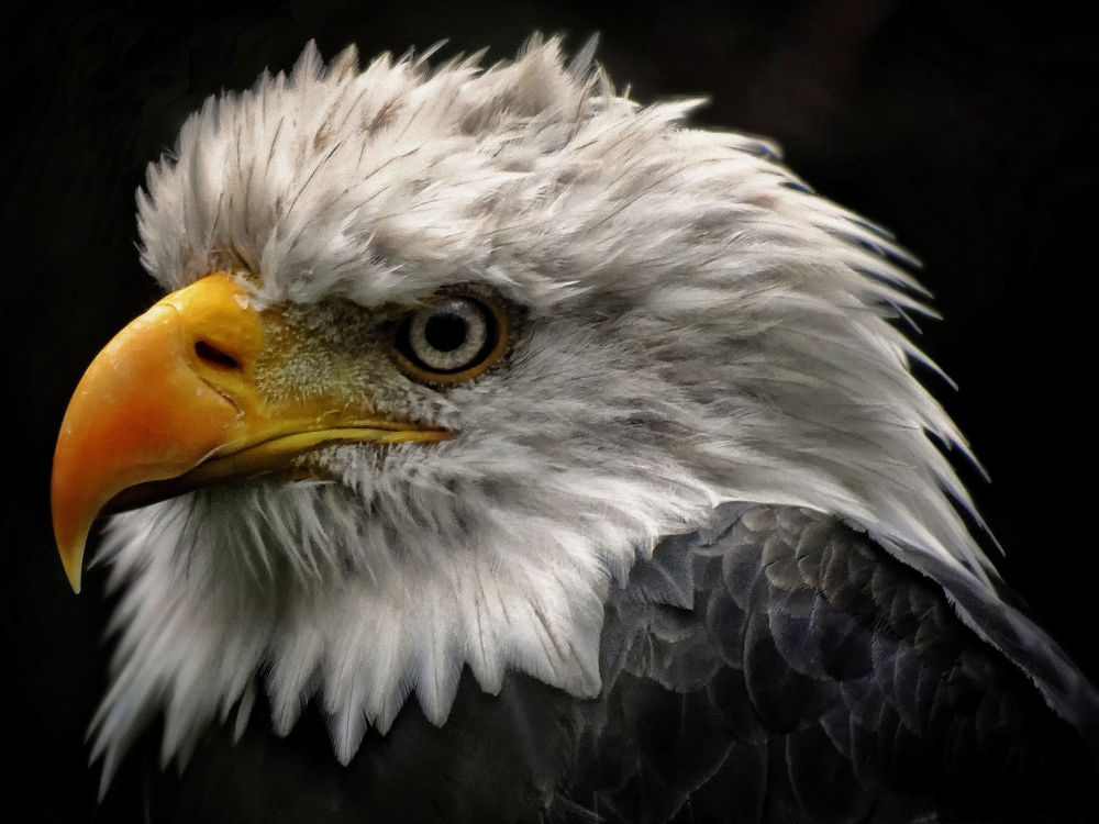 Bald Eagle by Edgar Hempen Pictures