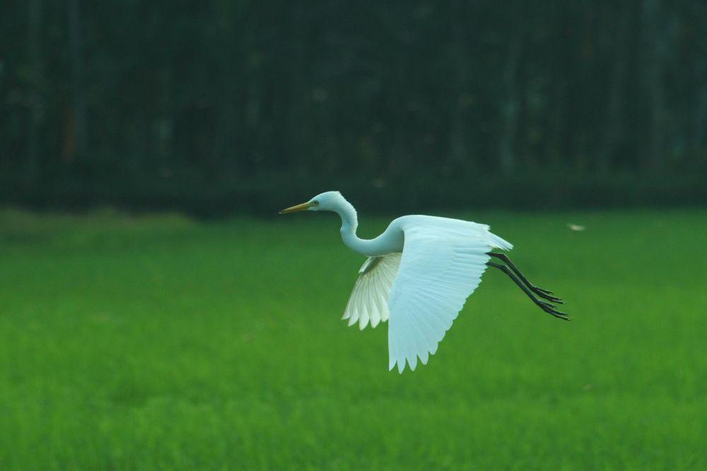Intermediate Egret by Achu