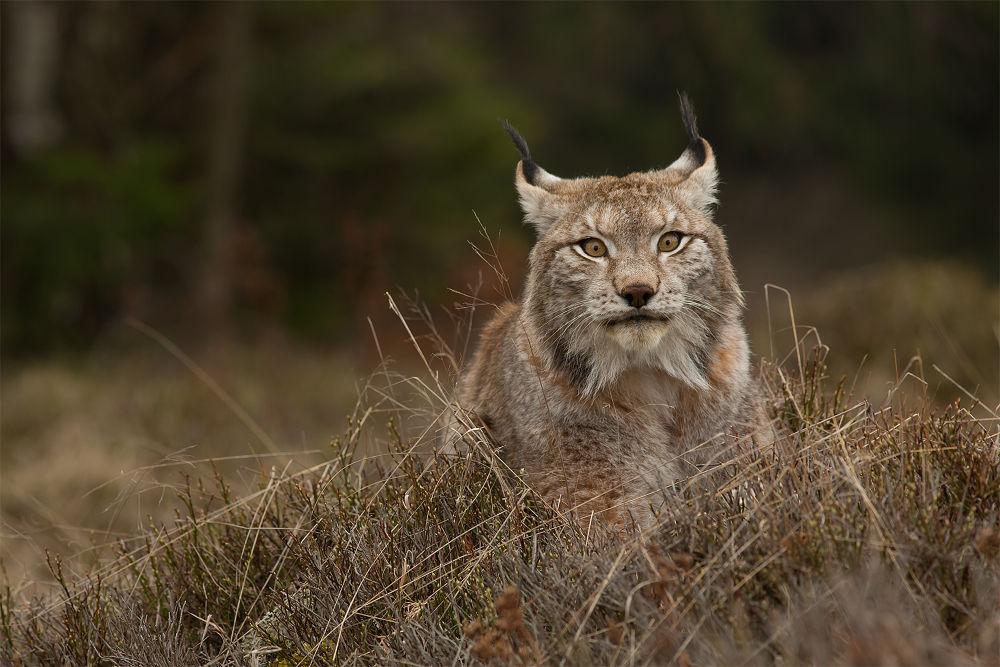 European Lynx by MilanZygmunt