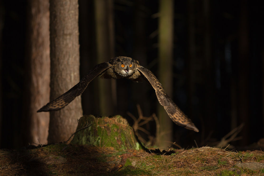 Eagle Owl by MilanZygmunt