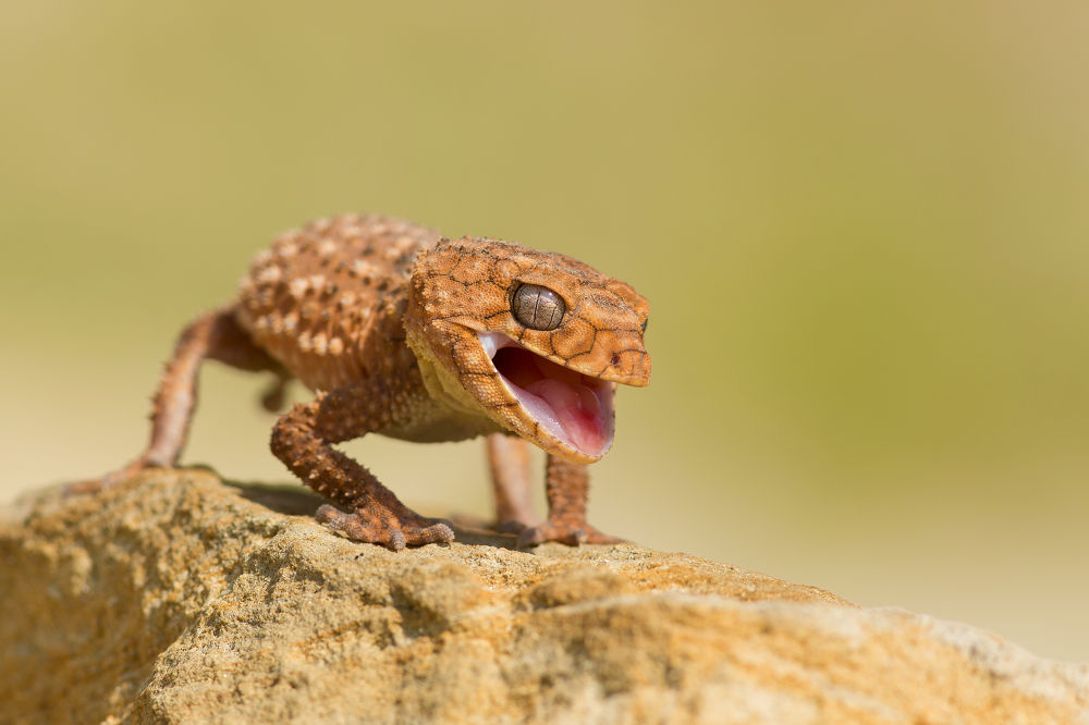 Rough Knob Tailed Gecko by MilanZygmunt