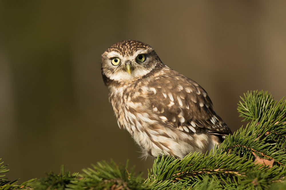 Little Owl by MilanZygmunt