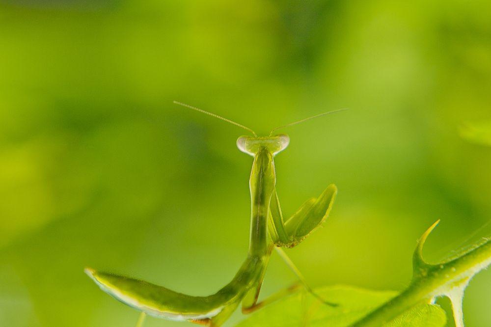 Praying Mantis by ragavanands
