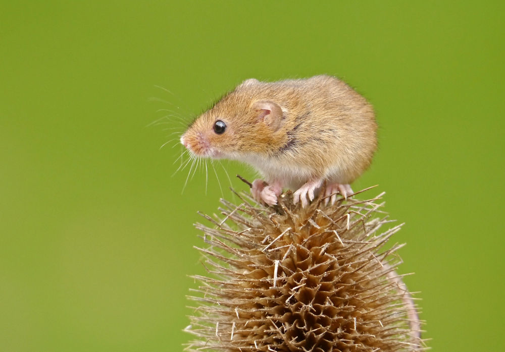 Harvest Mouse by LindaK