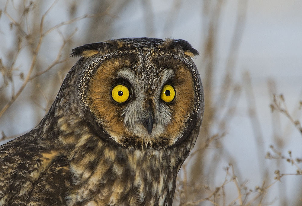Long Eared Owl_73A8237 by Ziggy03