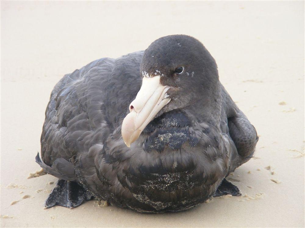 The Black Albatross by NomadicFox Photo