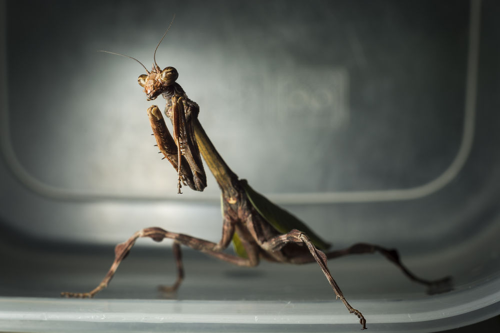 Maléfica, The Praying Mantis by alxmurray