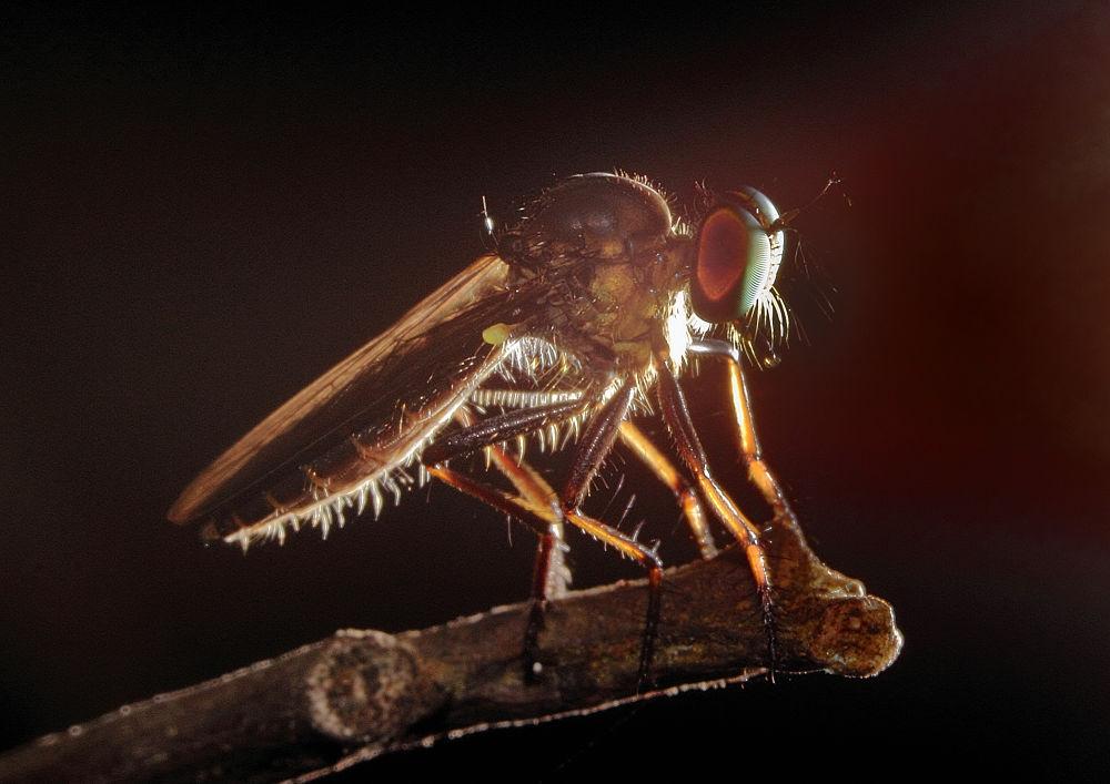 robberfly by 9w2zxr