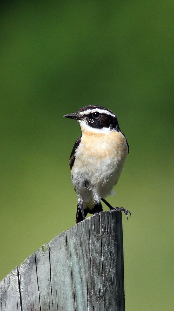 Whinchat by foffe