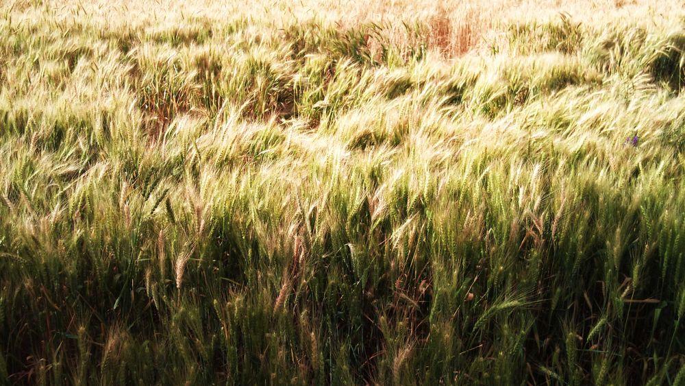 Wheat fields  by ezrail