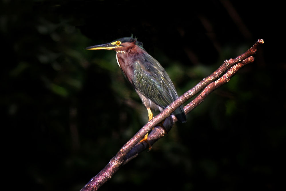 Green Heron by Jorge Coromina