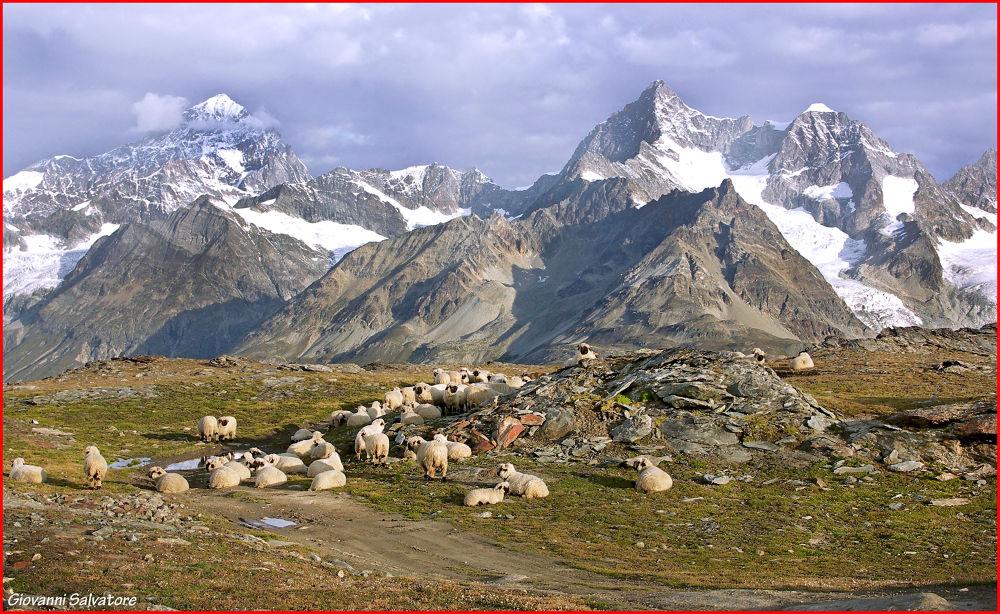 Sheep in Alps  (Zermatt, Switzerland) by EuroAmerican
