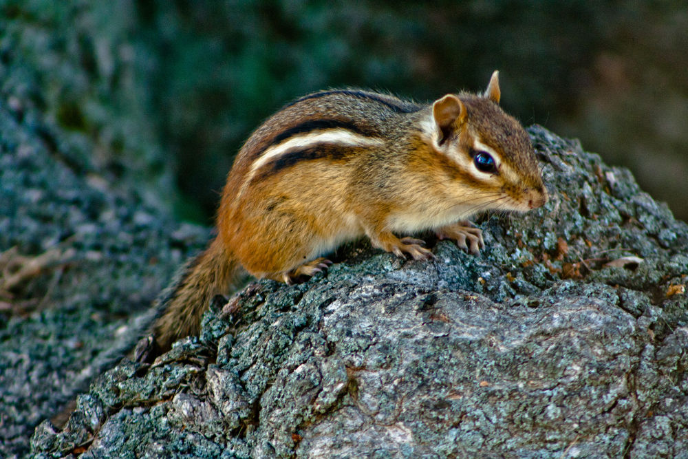 Chipmunk Friend by meowness