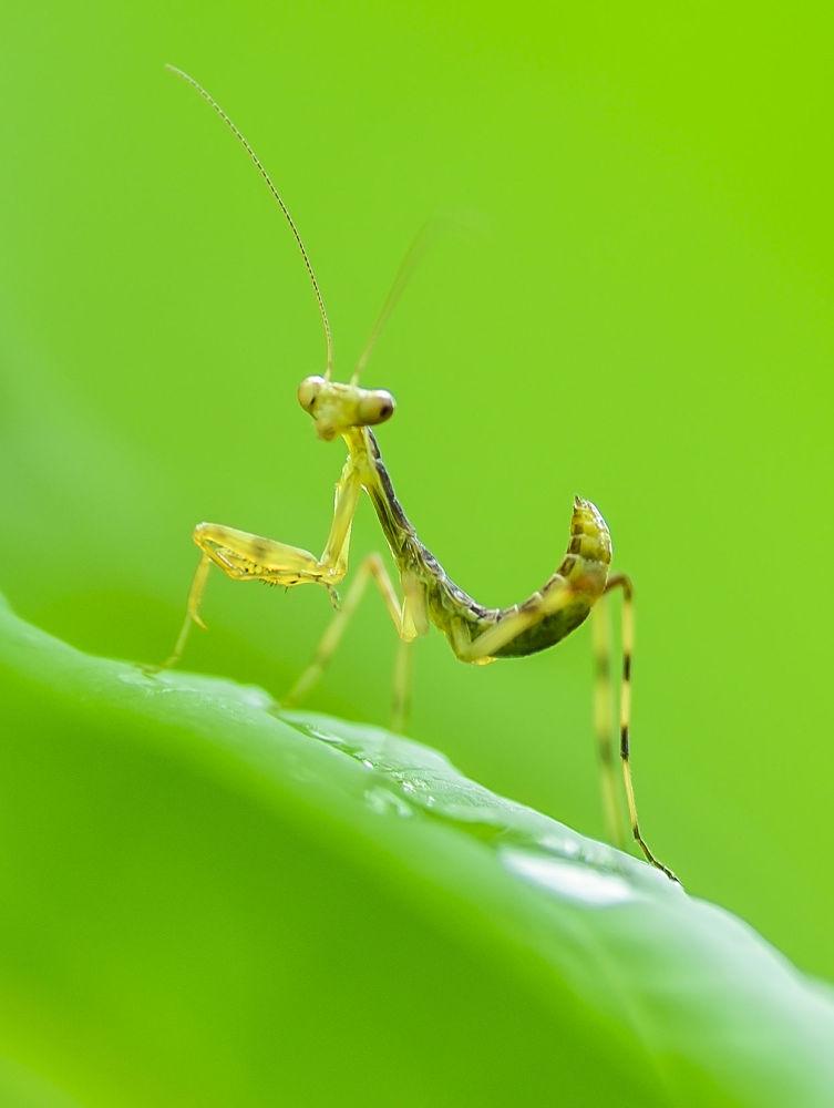 Mantis's, Hello! by yasuohirano54