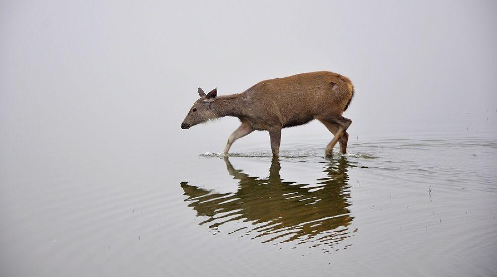 Photo in Animal #deer #water #lake #plos #sambhar
