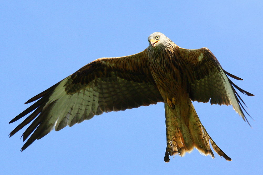 Red Kite by klovibond