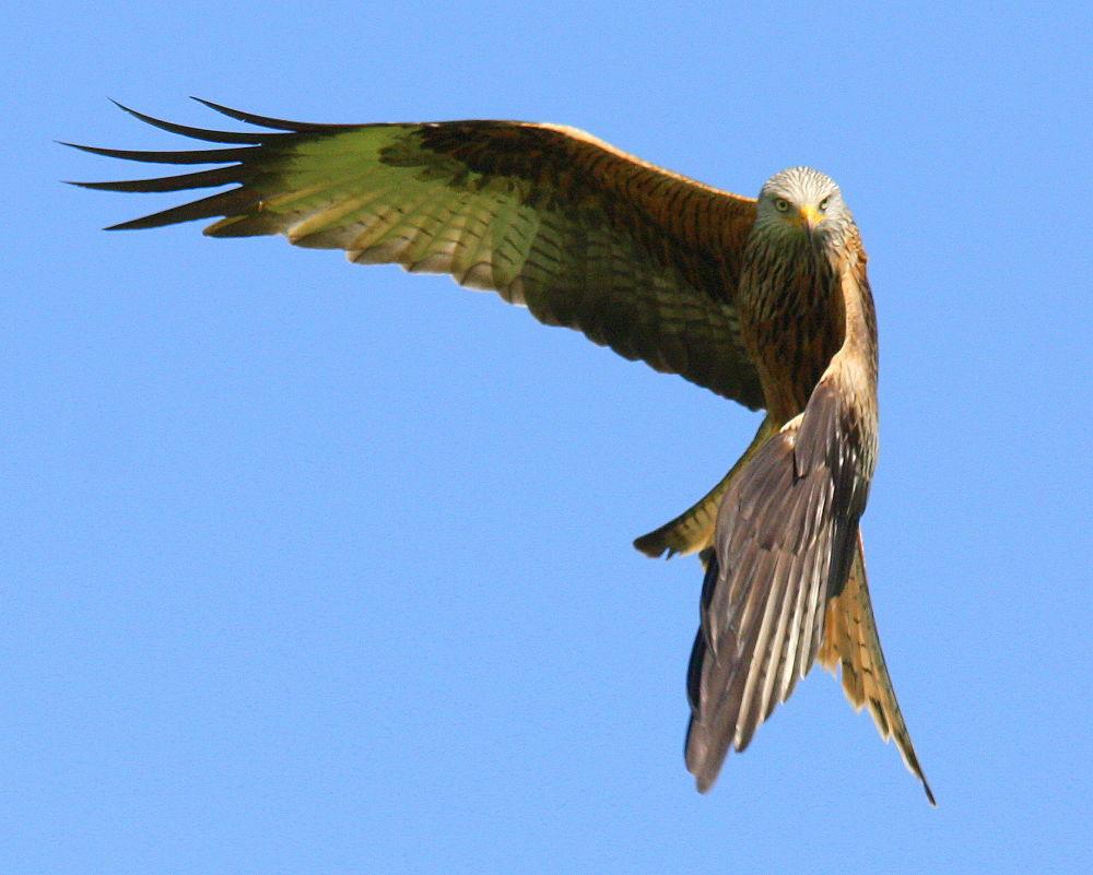 Red Kite by klovibond