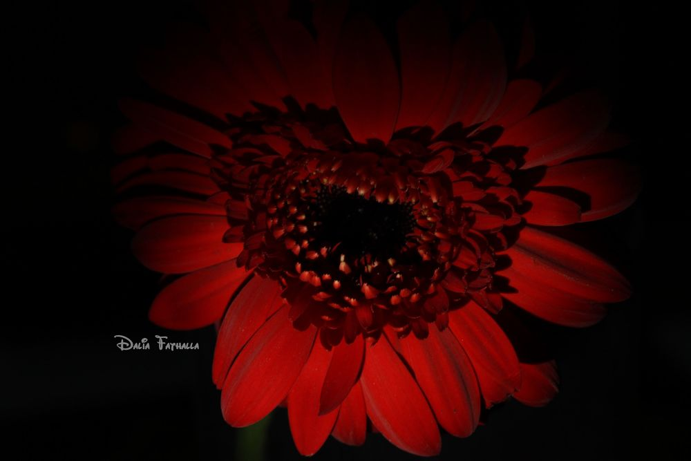 Heart by dalia