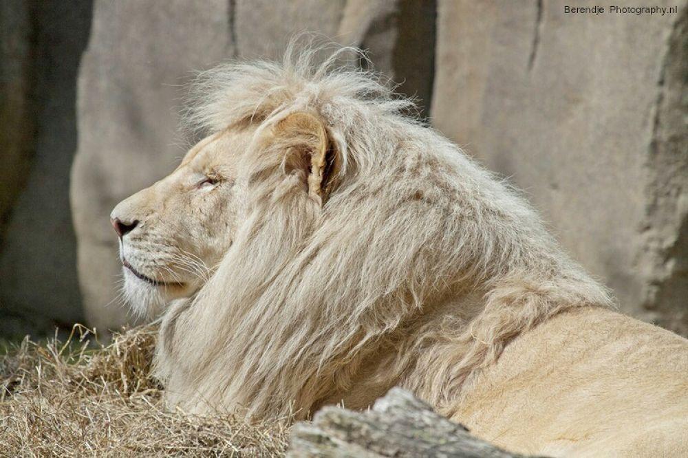 African white lion by Brenda Passchier