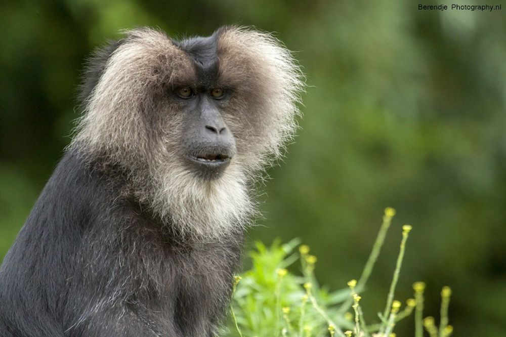 Lion-tailed macaque. by Brenda Passchier