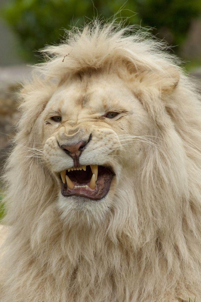 White lion by Brenda Passchier