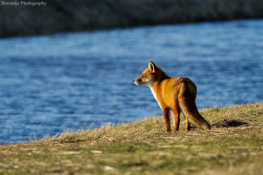 Fox. by Brenda Passchier