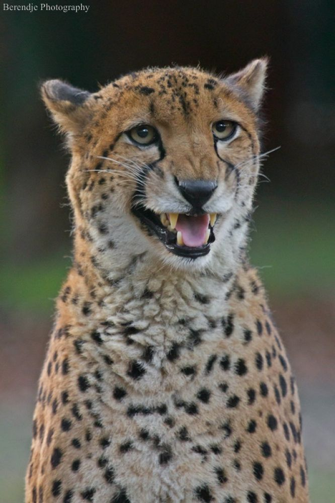 Cheetah. by Brenda Passchier