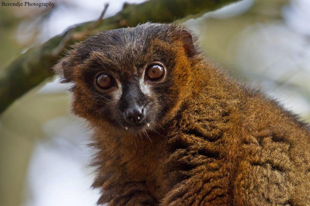 Red bellied lemur by Brenda Passchier