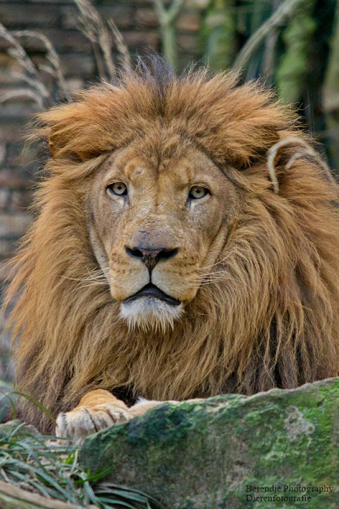 Lion by Brenda Passchier