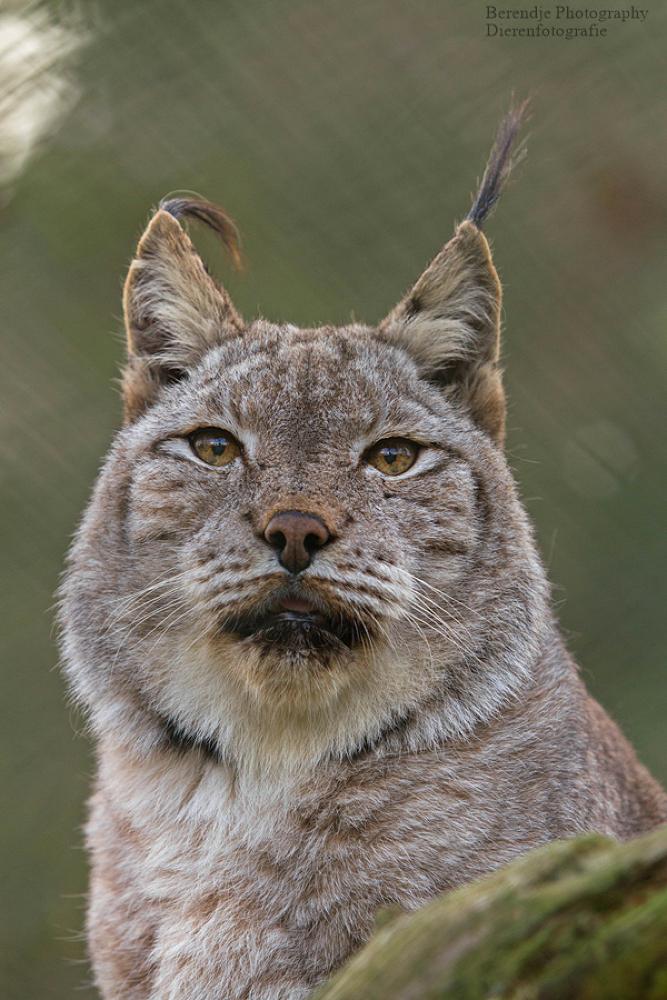 Lynx by Brenda Passchier