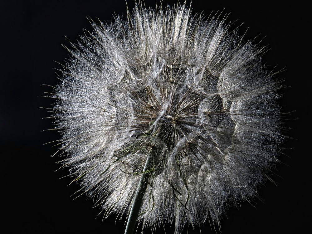 Dandelion by mervinpearce