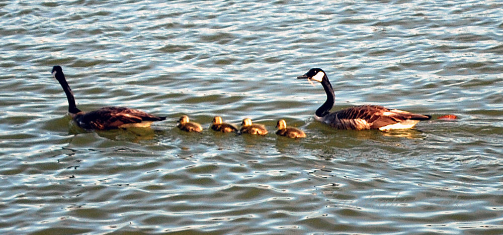 A family of Geese   4-20-2014 by Fairleahbrit